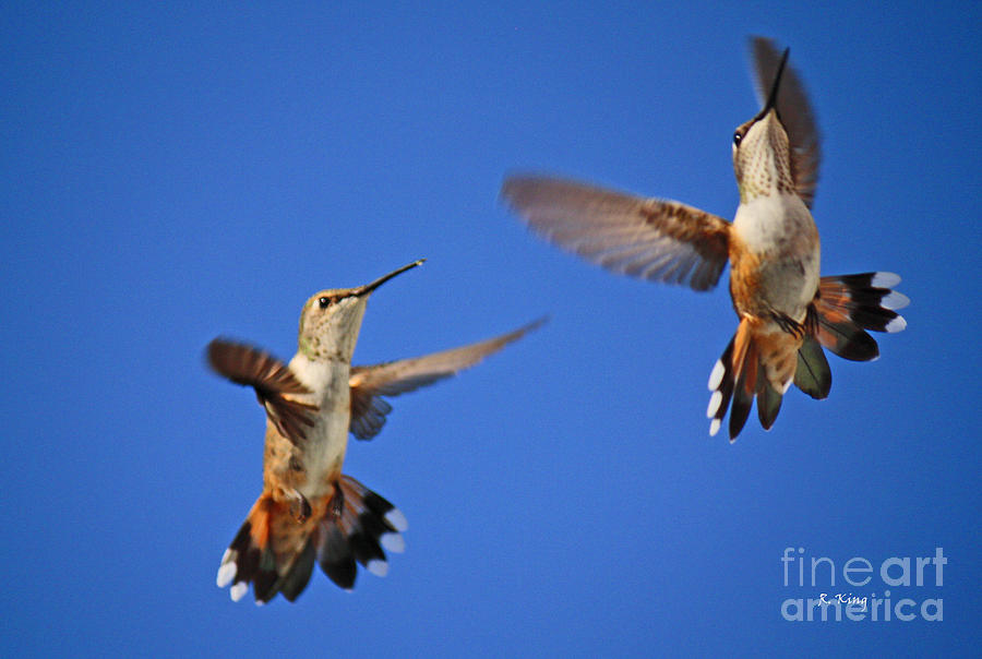 Broad-tailed Hummingbird Photograph - Air Dance by Roena King