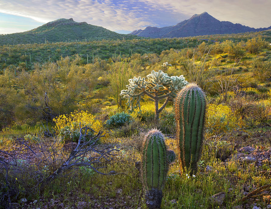 Ajo Mountains Organ Pipe Cactus Photograph by Tim Fitzharris