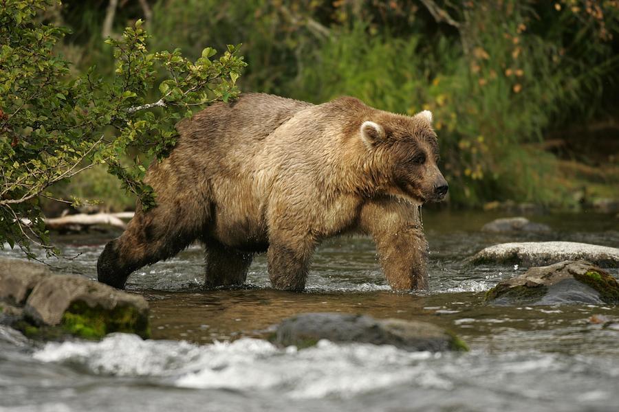 North America Photograph - Alaskan Brown Bear Ursus Arctos Walking by Roy Toft