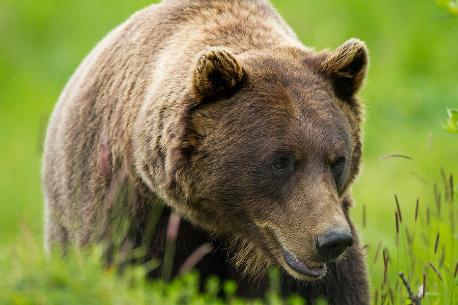 Alaska Photograph - Alaskan Grizzly by Adam Pender