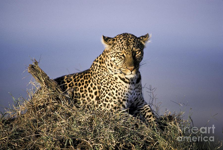 Fauna Photograph - Alert Female Leopard by Greg Dimijian