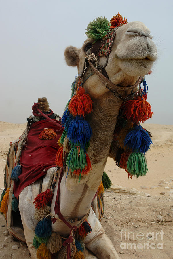 Camel Photograph - Camel Fashion by Bob Christopher