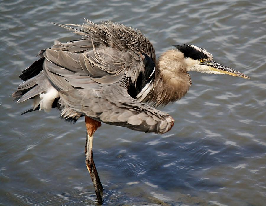 Great Blue Heron Photograph - All Fluffed Up by Paulette Thomas