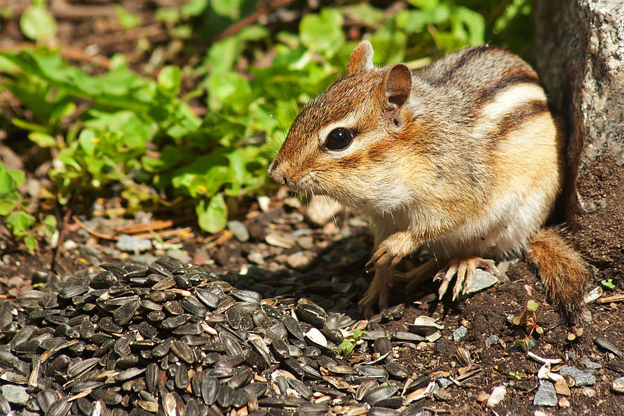 Chipmunk Photograph - All For Me by Jeff Galbraith