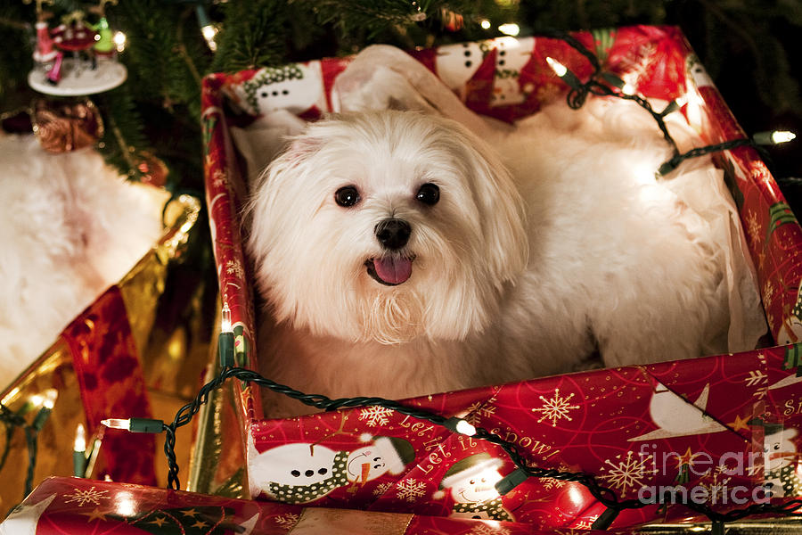 Maltese Photograph - All Wrapped Up by Leslie Leda