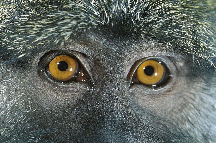 Allens Swamp Monkey Allenopithecus Photograph by Michael Durham