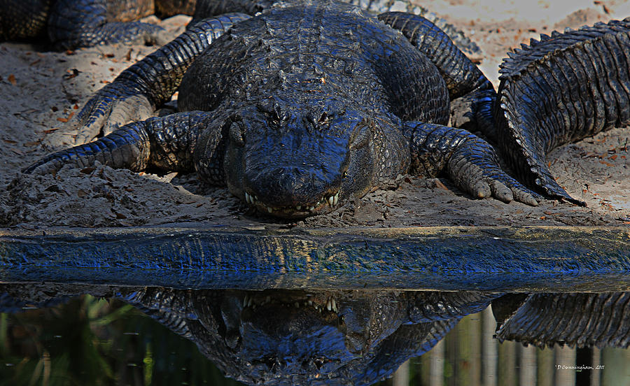 Alligator Photograph - Alligator And Reflection by Dorothy Cunningham