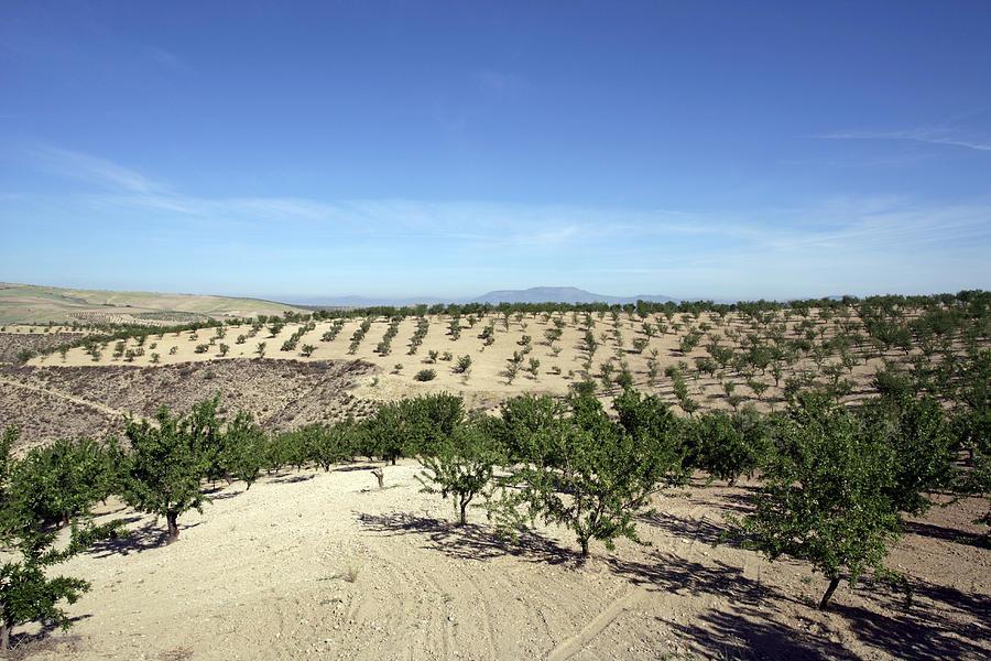 Prunus Dulcis Photograph - Almond Plantation by Carlos Dominguez