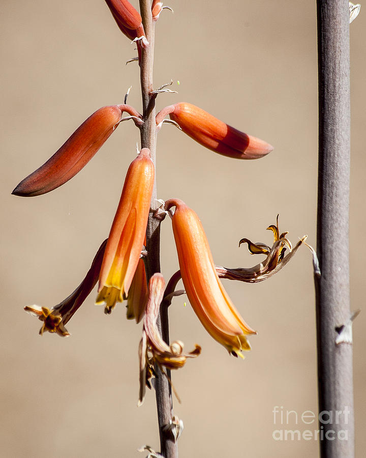 Aloe Photograph - Aloe Flower And Stem by Darcy Michaelchuk