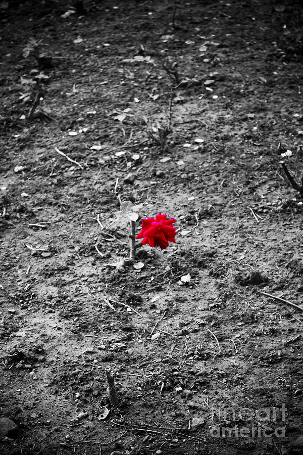 Rose.roses Photograph - Alone by Trevor Fellows