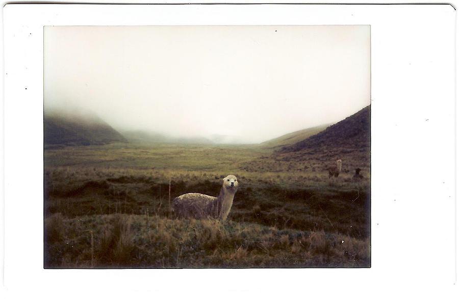 Horizontal Photograph - Alpaca by photography by Pamela Abad