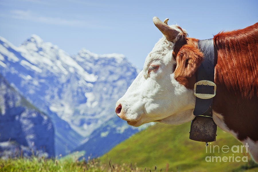 Alps Photograph - Alpine Cow by Greg Stechishin