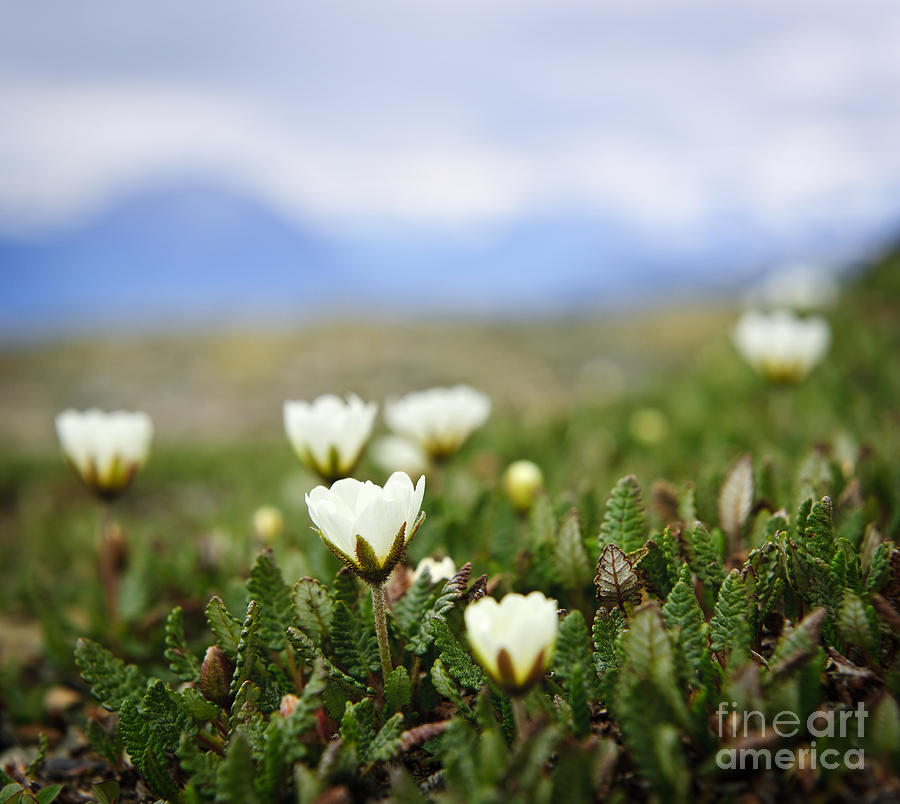 Alpine Photograph - Alpine Meadow In Jasper National Park by Elena Elisseeva