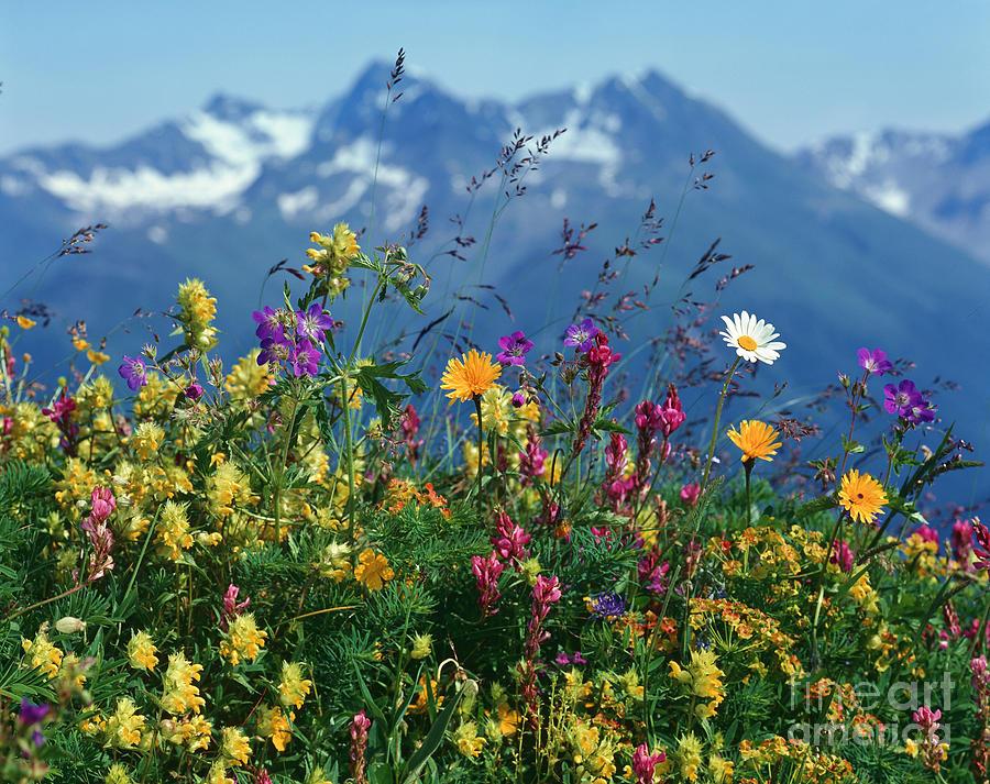 Alpine Wildflowers Photograph By Hermann Eisenbeiss And
