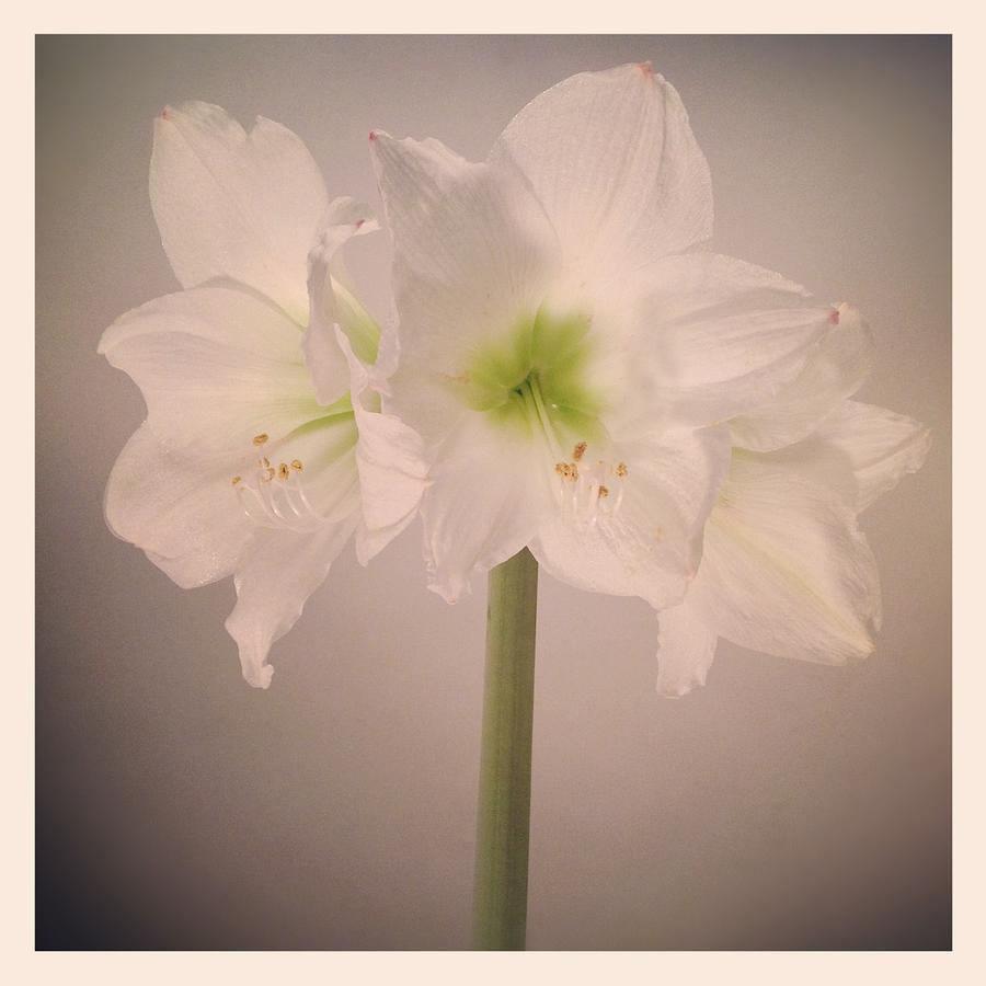 Square Photograph - Amaryllis Flowers by Nathan Blaney
