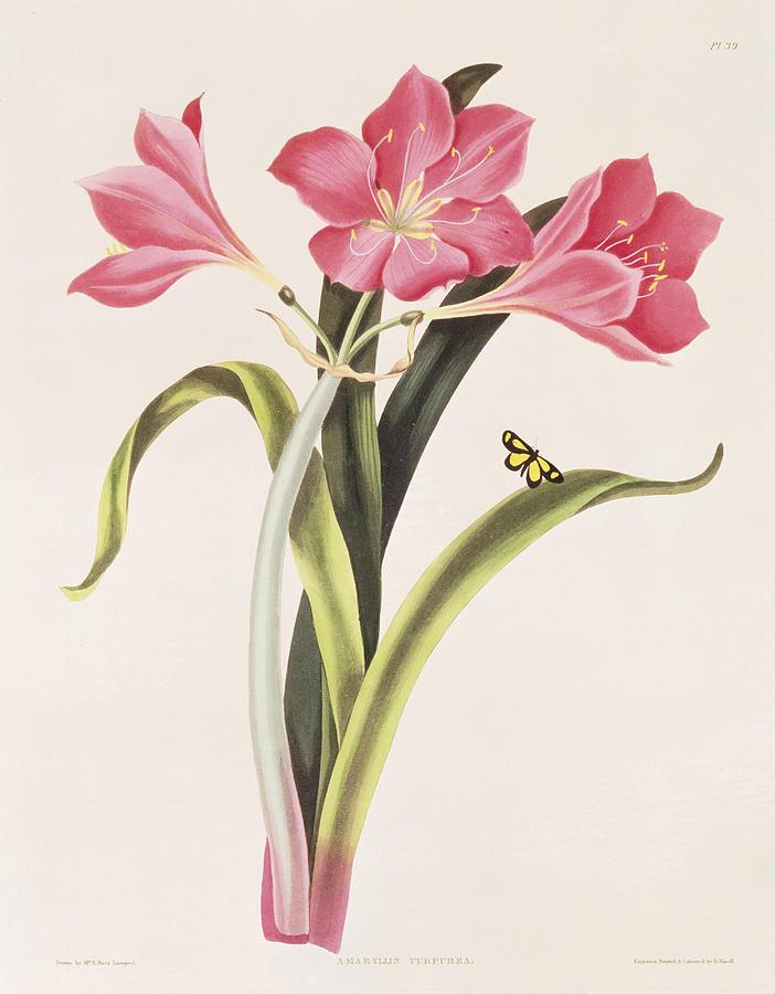 Amaryllis Purpurea Painting - Amaryllis Purpurea by Robert Havell