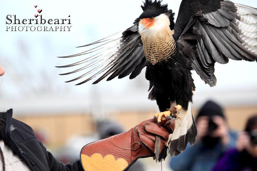Eagle Photograph - Amazing Wings by Sheri Bartay
