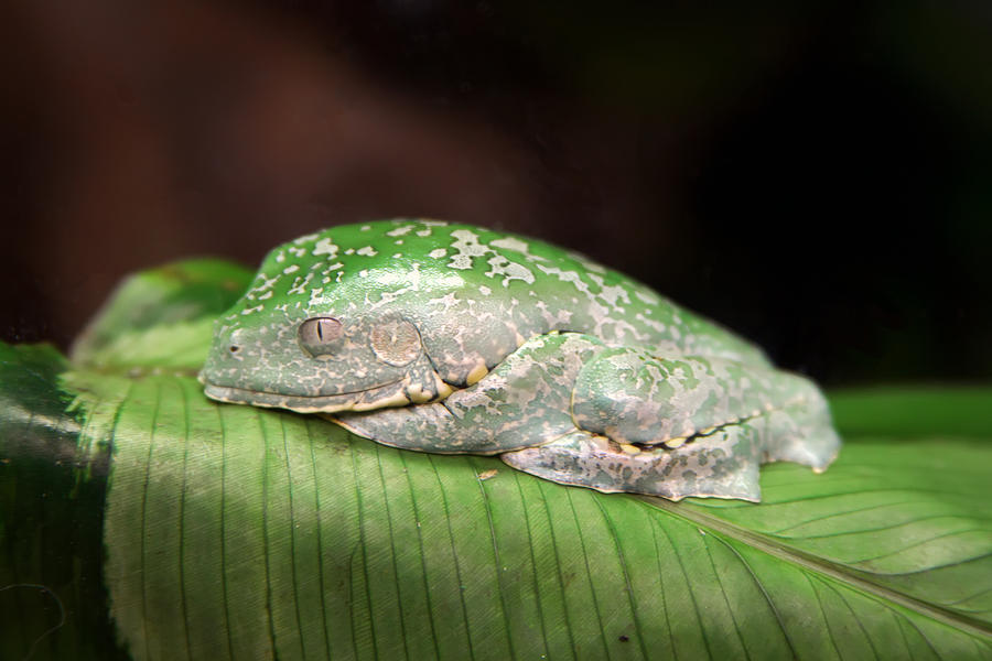Frog Photograph - Amazon Leaf Frog by Brad Granger
