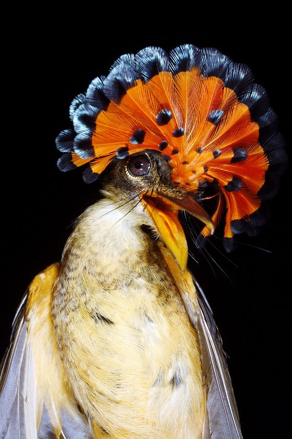 Onychorhynchus Coronatus Photograph - Amazonian Royal Flycatcher by Dr Morley Read
