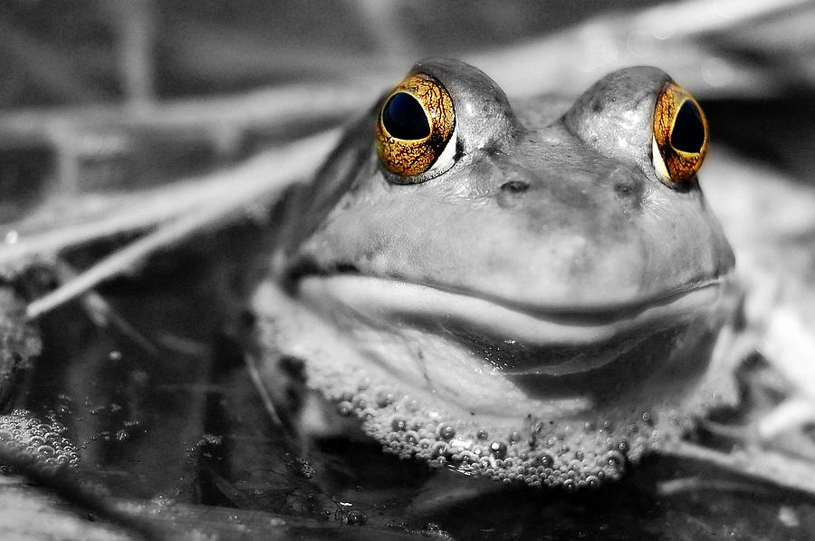 Frog Photograph - Amber Eyes by Amy Schauland