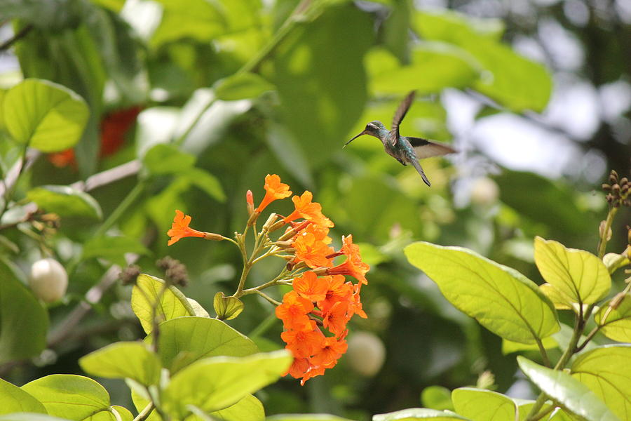Humming Bird Photograph - Amber Nectar by David Grant