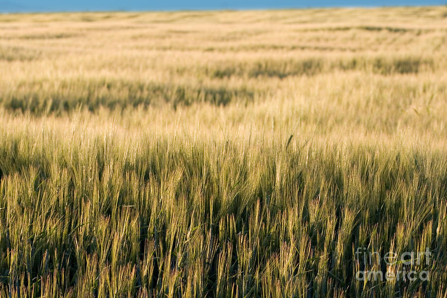 Agriculture Photograph - Amber Waves Of Grain by Cindy Singleton