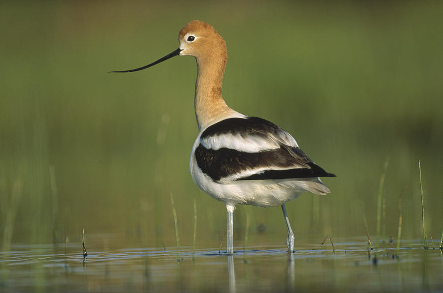 American Avocet In Breeding Plumage Photograph by Tim Fitzharris