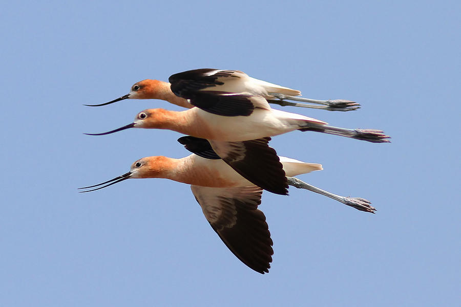 American Avocets Photograph - American Avocets by Phil Lanoue
