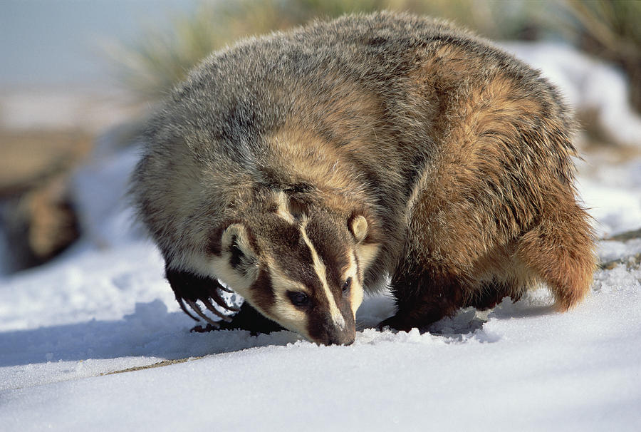 Mp Photograph - American Badger Taxidea Taxus, Colorado by Konrad Wothe