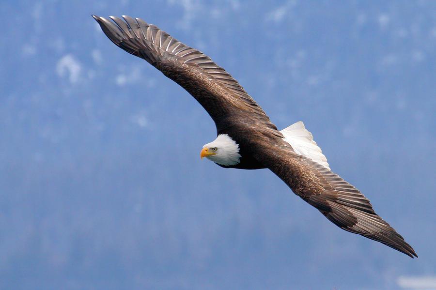 Alaska Photograph - American Bald Eagle by Doug Lloyd