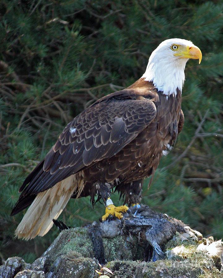 Eagle Photograph - American Bald Eagle by Kathy Eastmond