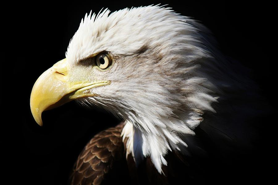 Bird Of Prey Photograph - American Bald Eagle by Paulette Thomas