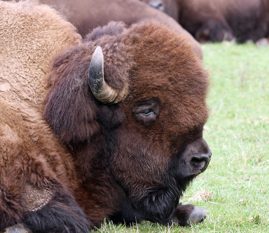 Bison Buffalo stock photo. Image of large, horns, extant
