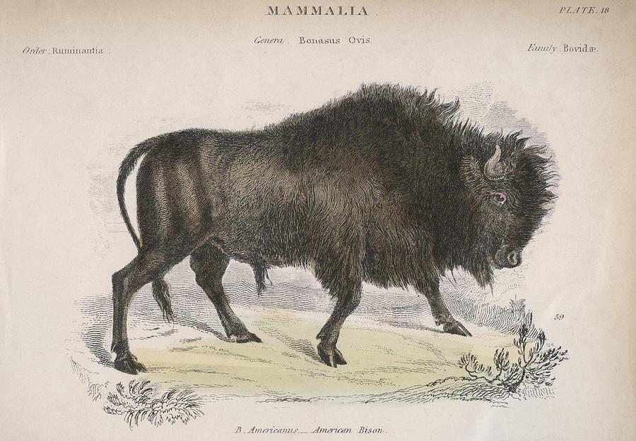 Horizontal Digital Art - American Bison by Hulton Archive