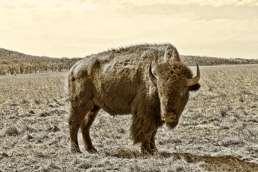 Bison Photograph - American Bison In Gold Sepia - Left View by Tony Grider