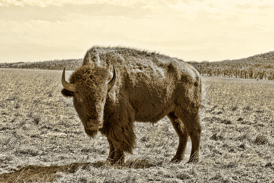 Bison Photograph - American Bison In Gold Sepia- Right View by Tony Grider