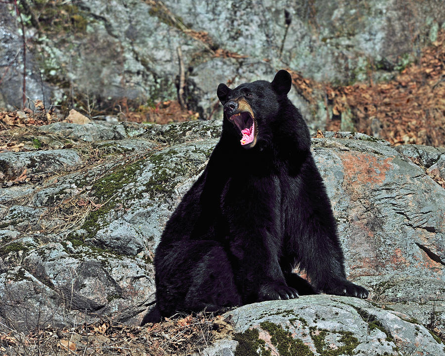 сайте медведи в америке картинки вам хочется придать