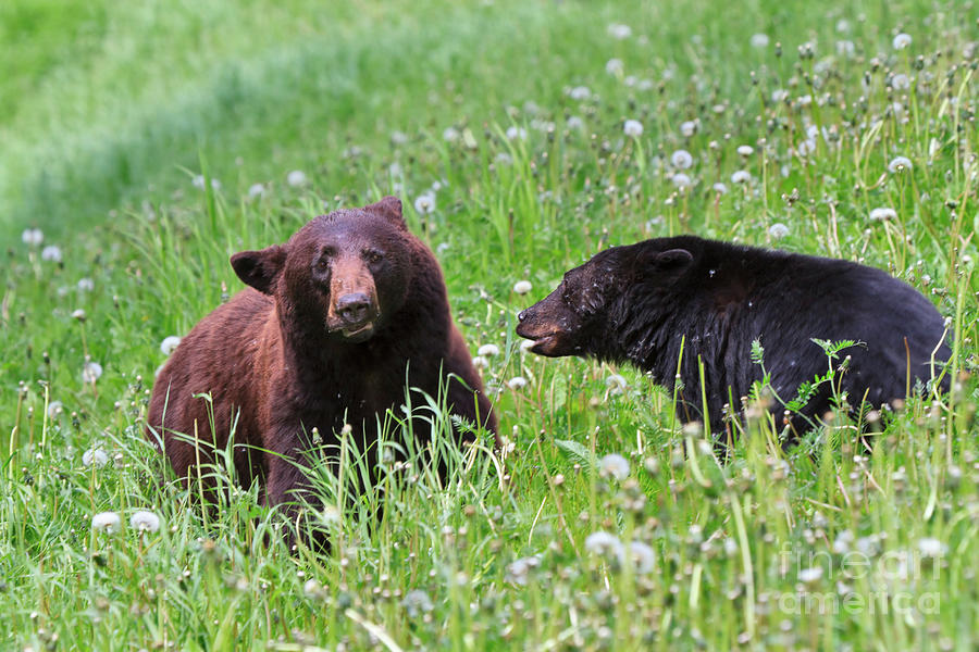 Bear Photograph - American Black Bear With Cub by Louise Heusinkveld