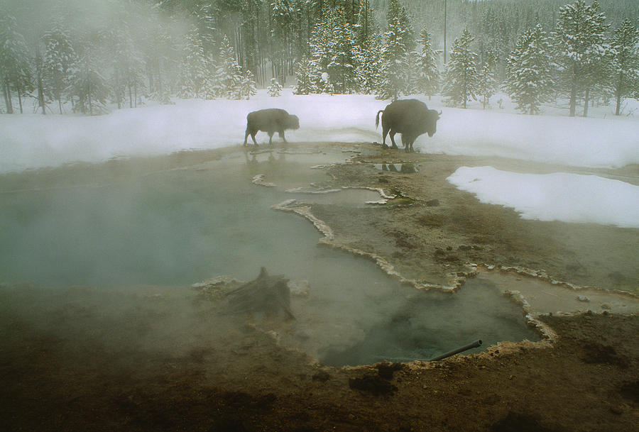 Bison Bison Photograph - American Buffalo Bison Bison Mill by O. Louis Mazzatenta