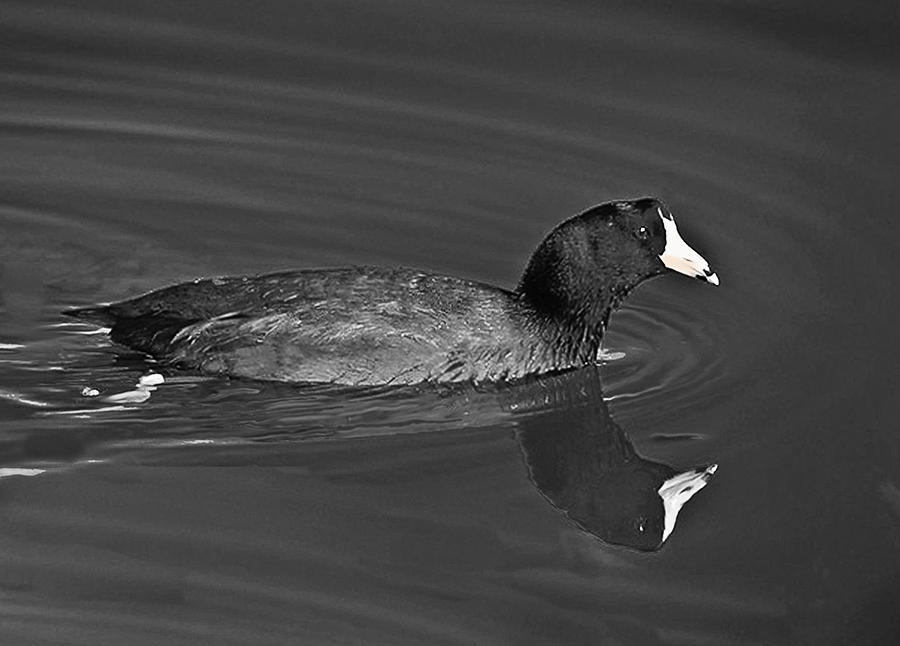 American Photograph - American Coot by Bob and Nadine Johnston