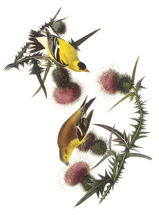 John James Audubon Painting - American Goldfinch by John James Audubon