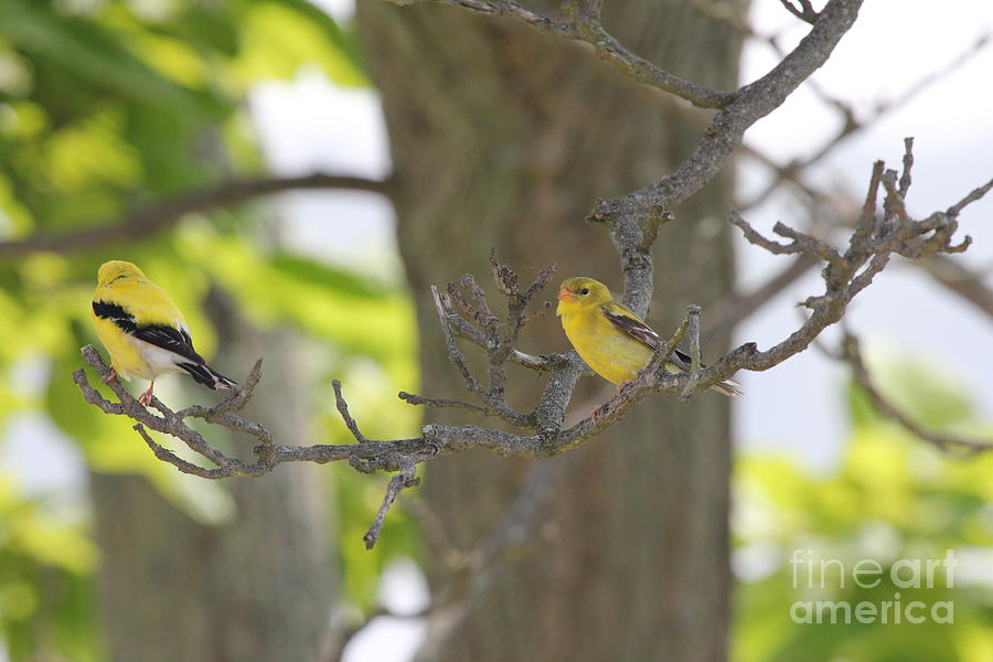 Yellow Bird Photograph - American Goldfinch Pair by Scenesational Photos