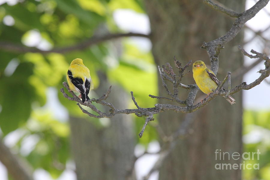 American Goldfinch Photograph - American Goldfinch by Scenesational Photos