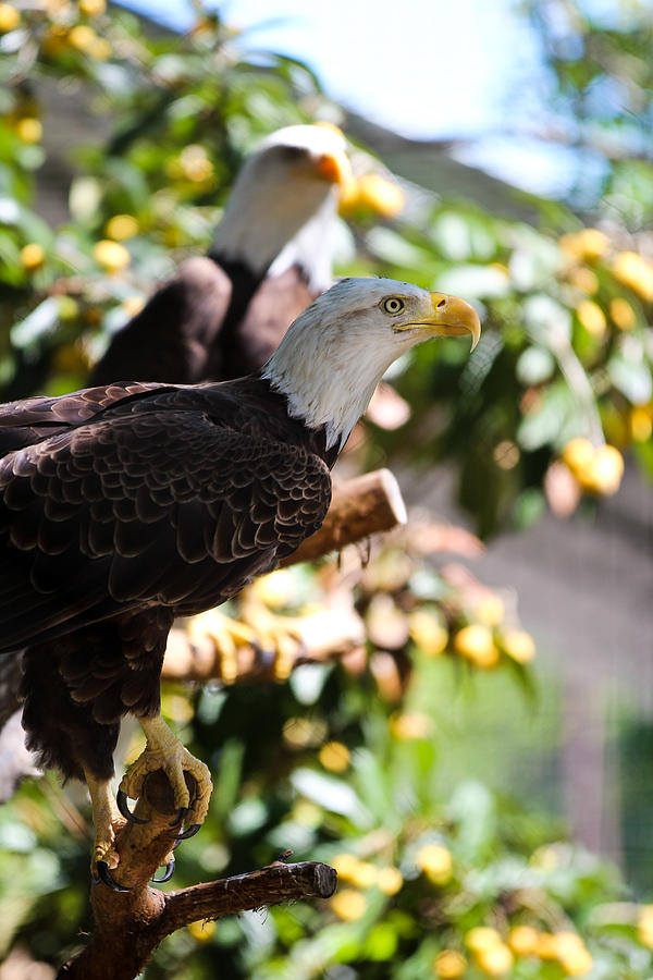 Bald Eagle Photograph - American Idol by Elizabeth Hart