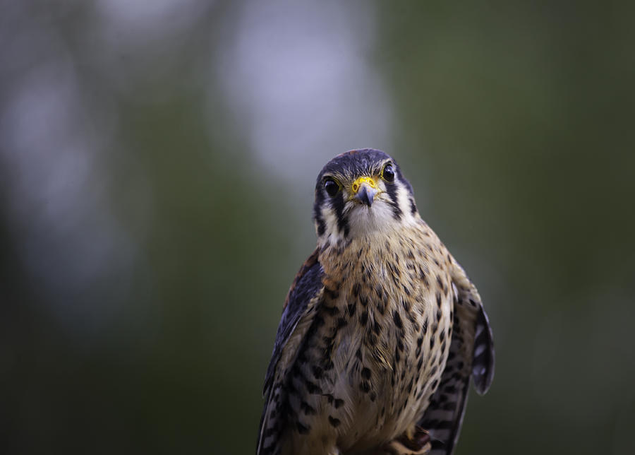 Falcon Photograph - American Kestrel by Richard Lee