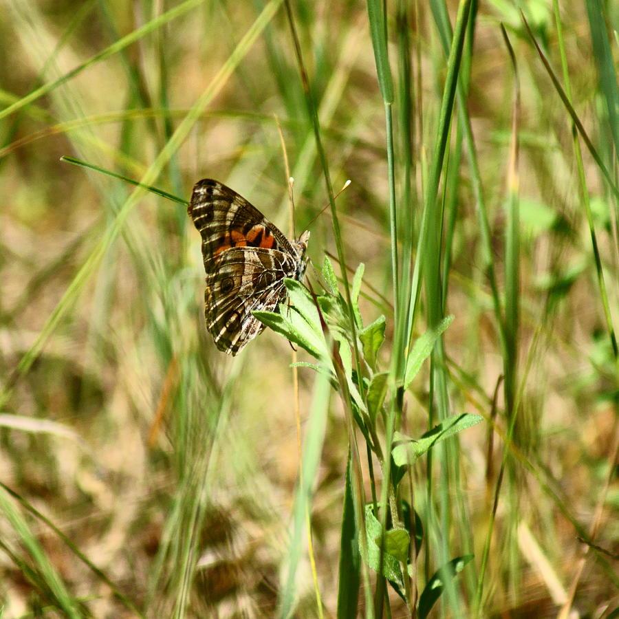 Butterfly Photograph - American Lady by Jennifer Kosminskas