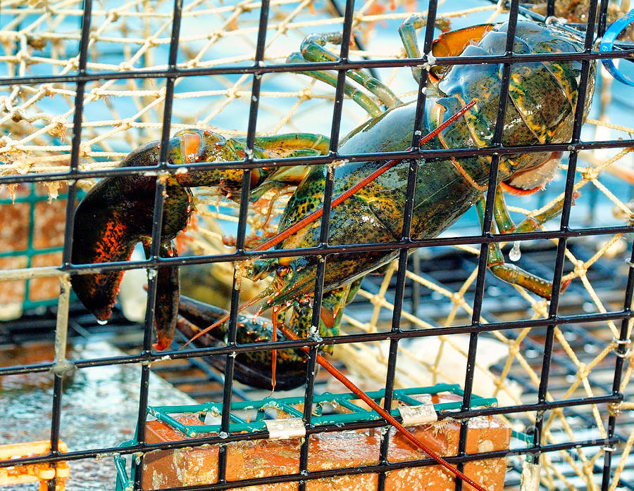 American Lobster In Trap In Chatham On Cape Cod Photograph by Matt Suess