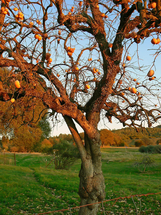 Tree Photograph - American Persimmon Tree by Pamela Patch