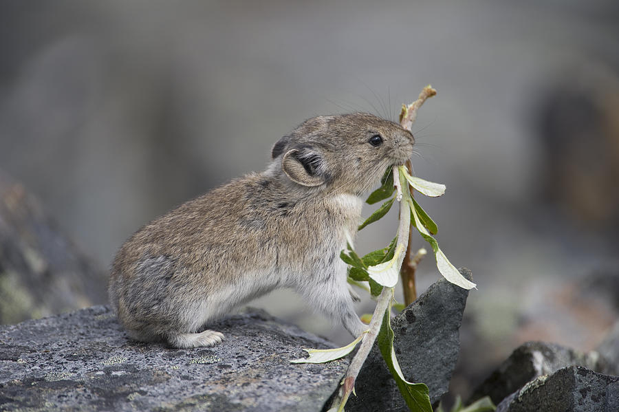 American Pika Photograph by Michael Quinton