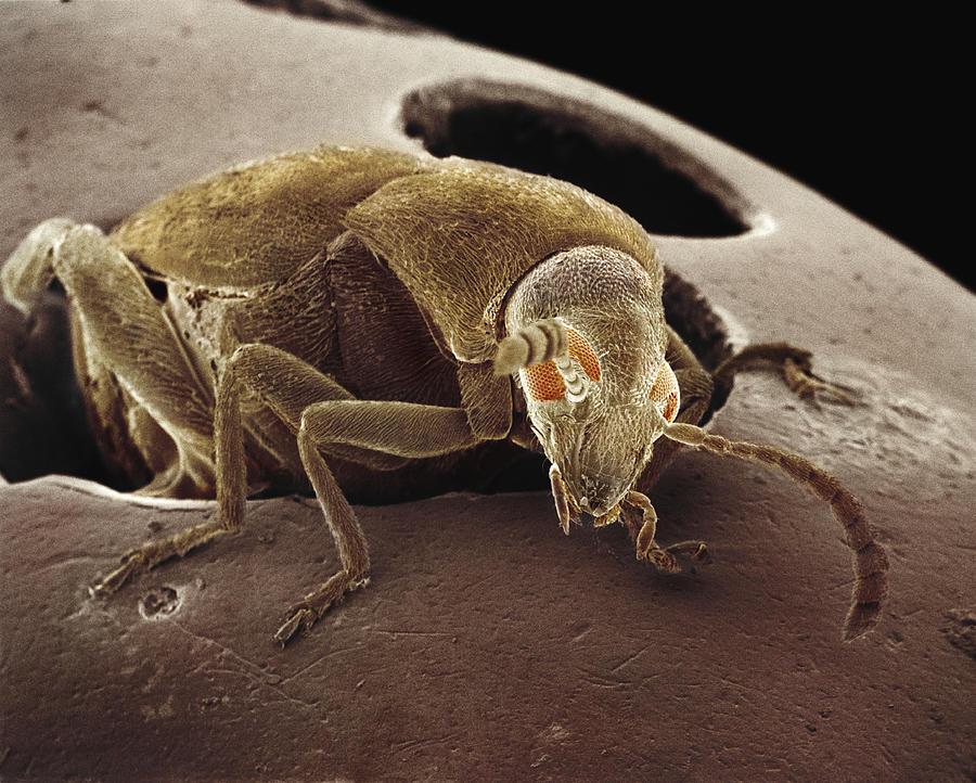 Mp Photograph - American Seed Beetle Sem by Albert Lleal